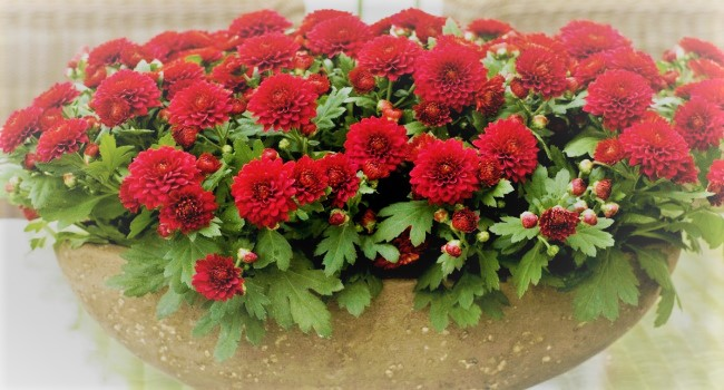 Комнатное растение хризантема фото